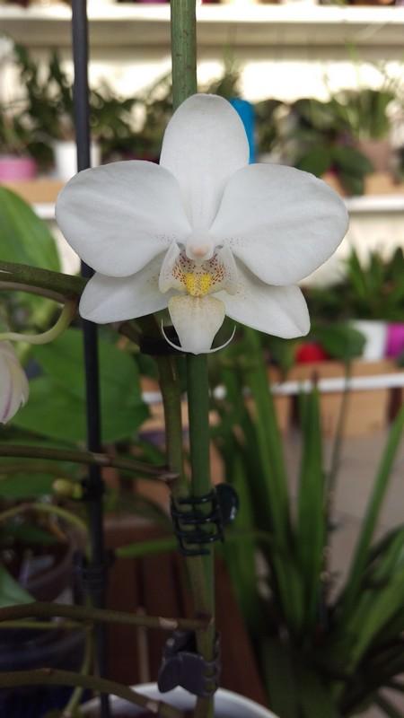 Phalaenopsis multiflora  - Page 2 Phal_610