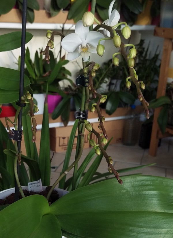 Phalaenopsis multiflora  - Page 2 Phal_611