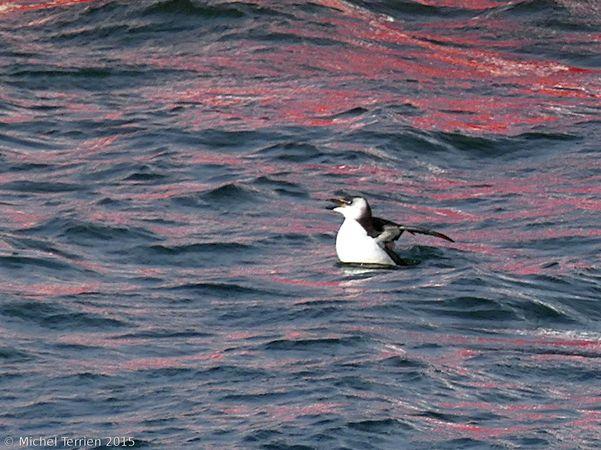 Pingouin ou guillemot P1160310