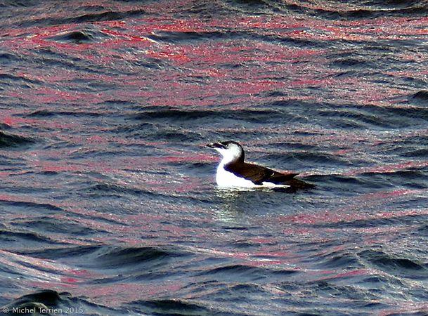 Pingouin ou guillemot P1160311