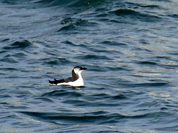 Pingouin ou guillemot P1160312