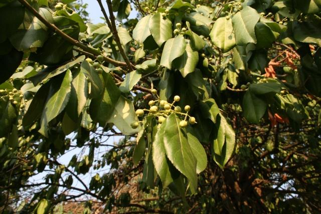 identification d'un arbre à partir de ses feuilles et fruits Img_1611