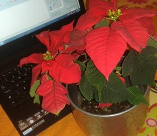 Euphorbia pulcherrima- Poinsettia, étoiles de Noël  :bouturage, entretien - Page 2 Poinse10