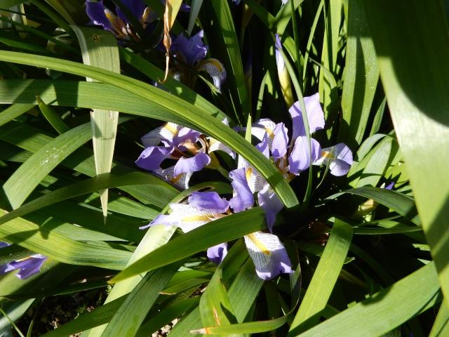 Iris lazica  Octobr12