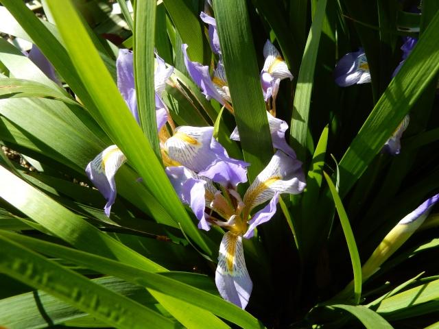 Iris lazica  Octobr13
