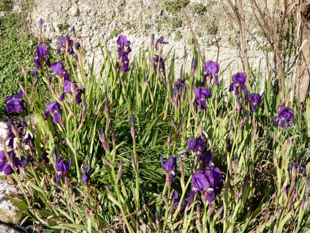 Iris x germanica - groupe germanica Octobr14