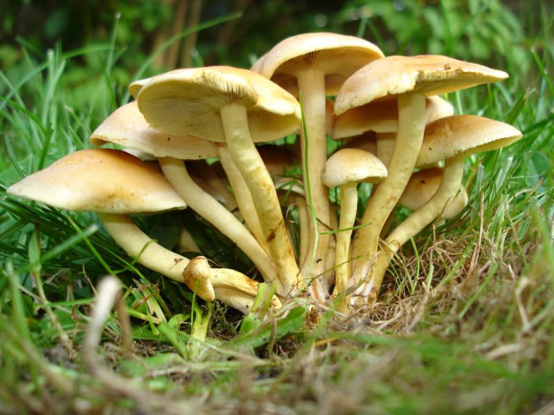les champignons par ordre alphabétique. - Page 4 Hyplol10