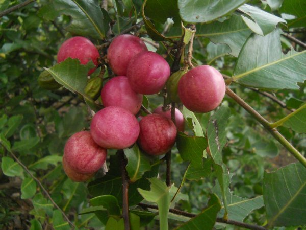 Fleurs,....fruit,.....tout ce qui se mange,...se boit....ou qui vient de la nature.......... - Page 40 Icaque10