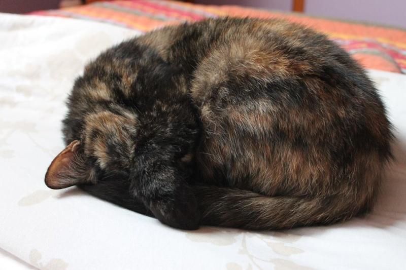 Luciole - Ecaille de Tortue (noir et feu) née en 2012 12431610