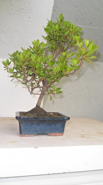 falso rinvaso azalea Azalea10