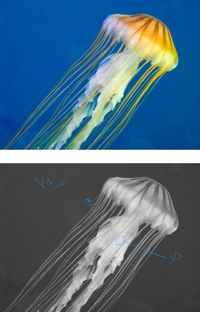 Jellyfish  13095910
