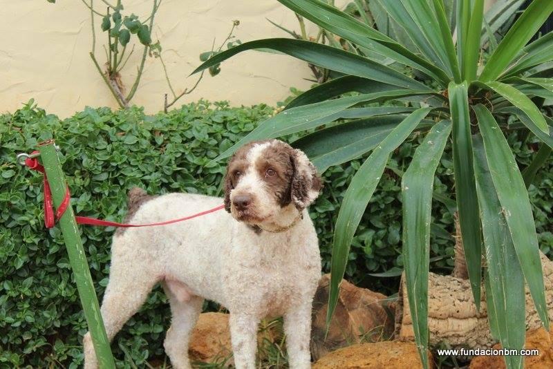 Boggy - chien d'eau Espagnol - 2 ans - Adopté 12431310