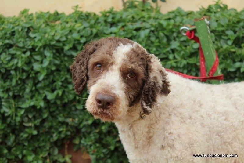 Boggy - chien d'eau Espagnol - 2 ans - Adopté 12463610