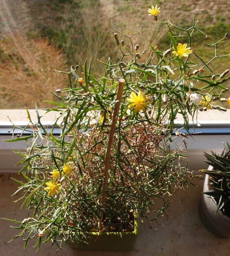 """Cichorioideae - """"Zungenblütler"""" .. eine recht umfangreiche Unterfamilie der Korbblütler - Seite 3 Pc283110"""