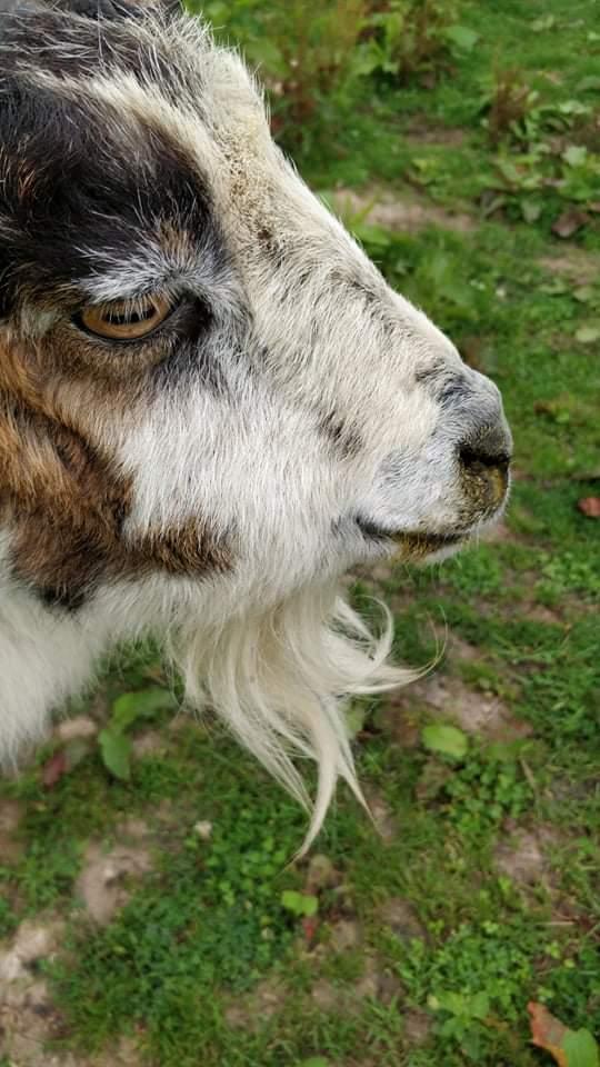 Ma chèvre gonfle au niveau du ventre Receiv10