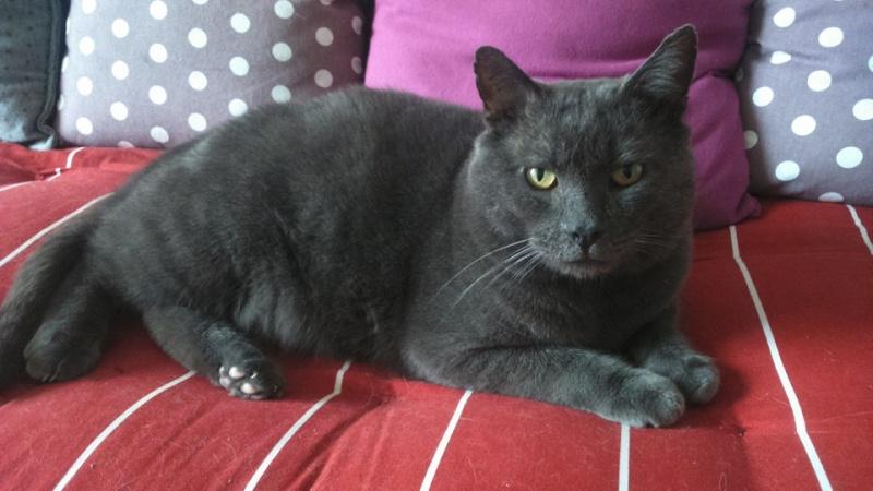 Levi, mâle, 2007, type chartreux Levi11