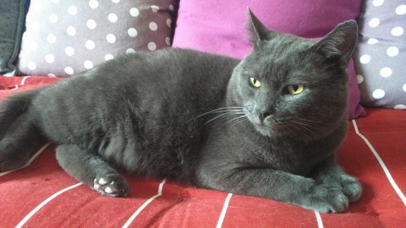 Levi, mâle, 2007, type chartreux Levi110