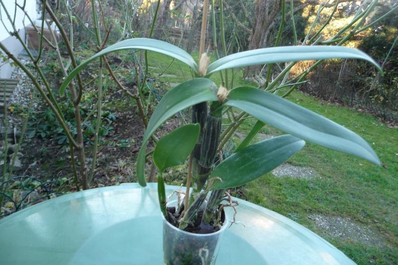 schwarze Bulben bei Guarianthe aurantiaca x Cattleya maxima: Bakterien, Virus oder? P1330912