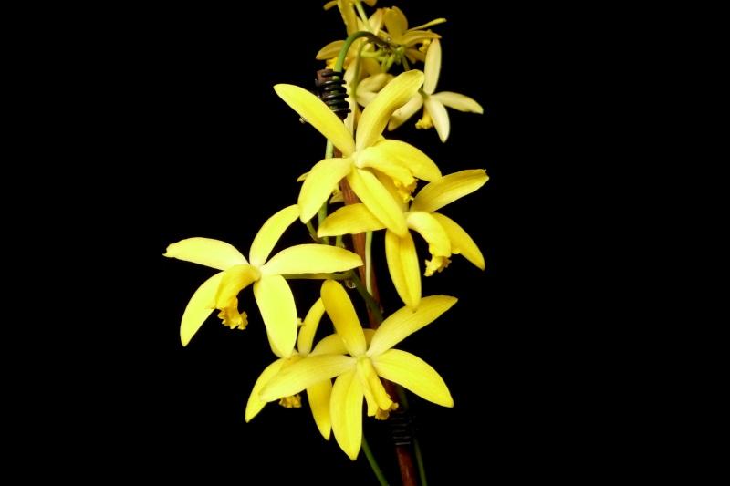 Laelia flava/Cattleya crispata P1340113
