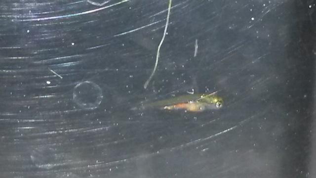 Reproduction de poissons rouge 10466711