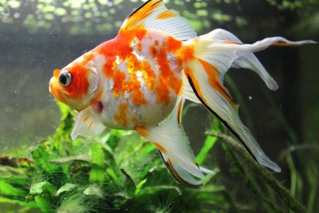 Reproduction de poissons rouge 12369010