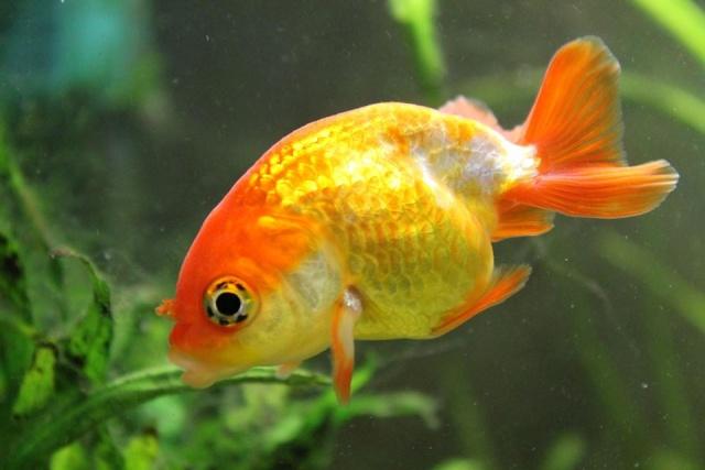 Reproduction de poissons rouge 19144410