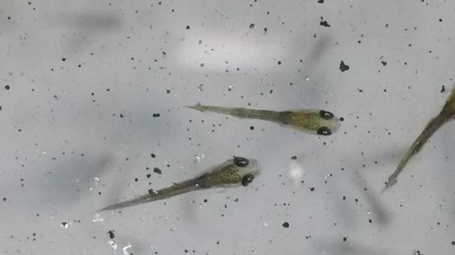 Reproduction de poissons rouge 20151235