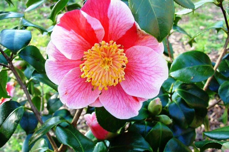 Camellia , saison 2015 - 2016 - Page 2 Avatar10