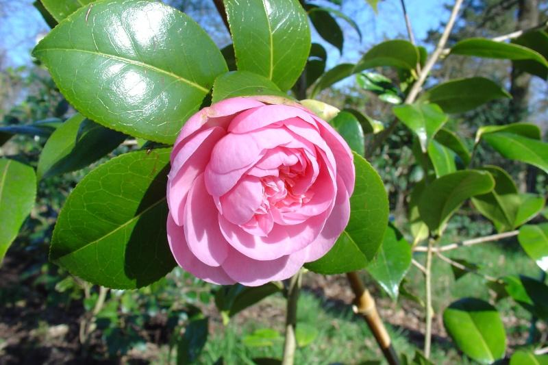 Camellia , saison 2015 - 2016 - Page 2 Talus_10