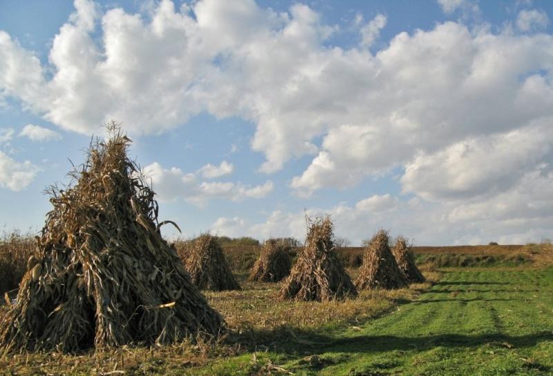 Ručna žetva kukuruzovine 117