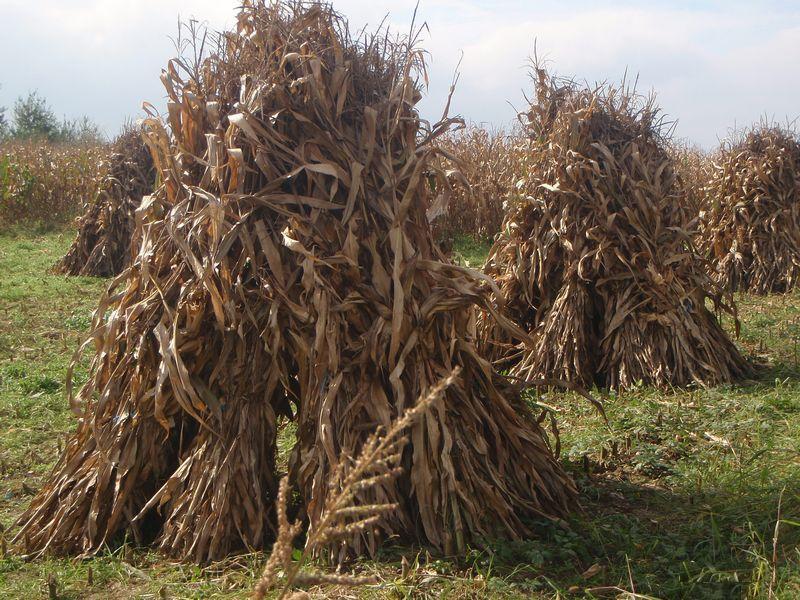 Ručna žetva kukuruzovine 215