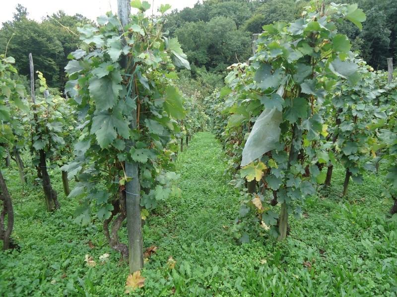 Fotografije vinograda Dsc09510