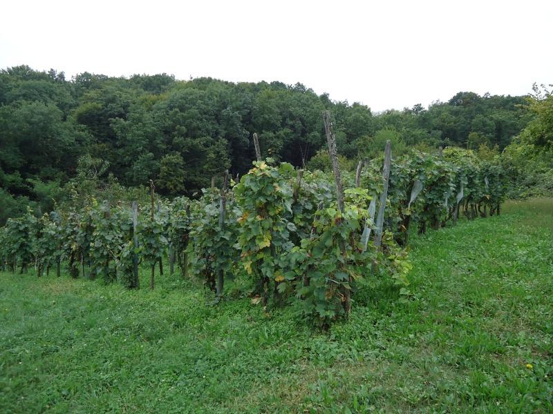 Fotografije vinograda Dsc09511