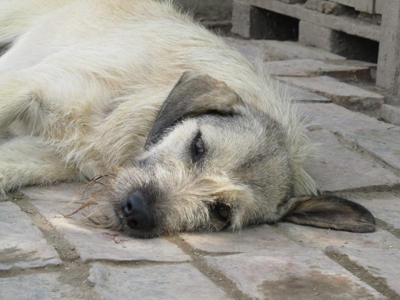 JULIA, F-X, née 2013 - 17 kg - Adorable (BELLA) Prise en charge SPA PONTARLIER 11885310