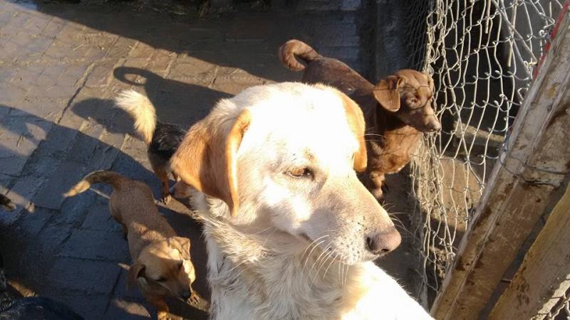 bella - WHITE -  2014 - 10 kg - Un gentil loup - (BELLA)/ URGENT : PEUT ARRIVER ! 27_01141