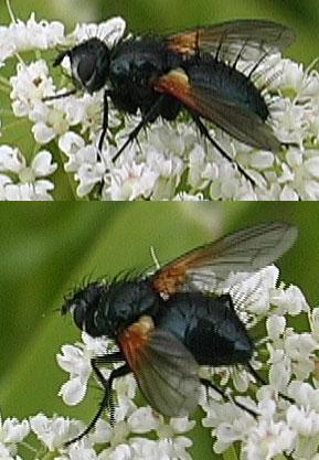 [Dufouria chalybeata] Toujours avec des piquants ! Zophor10