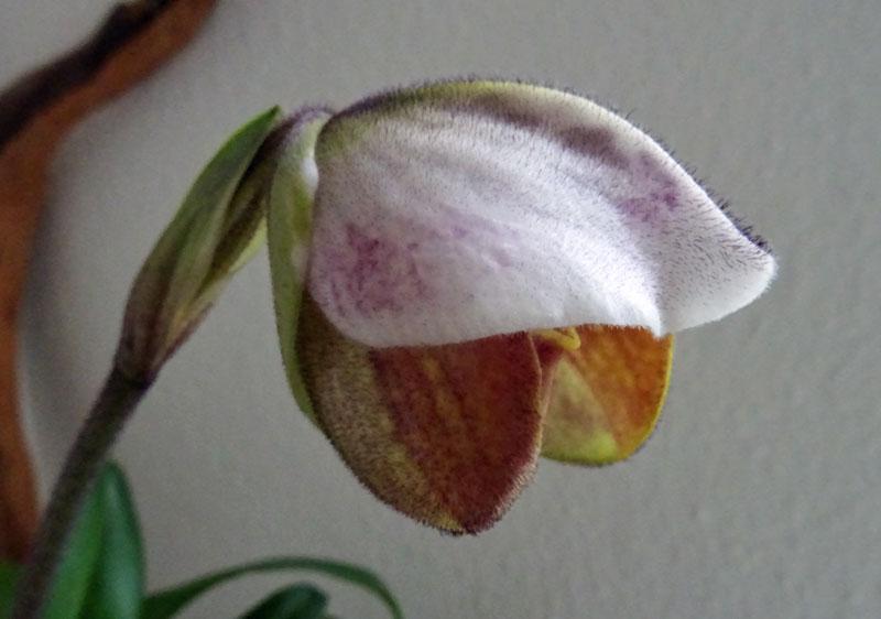 Paphiopedilum Amerikanische Hybride - Seite 3 Schlap10