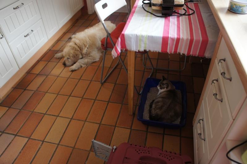 Laïka jeune chatte typée siamoise, gestante, à la rue - Page 2 Dsc07312