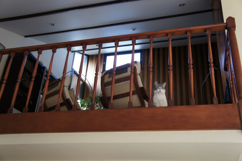 Laïka jeune chatte typée siamoise, gestante, à la rue - Page 2 Dsc07313