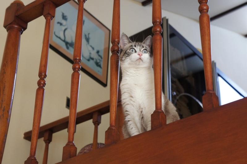 Laïka jeune chatte typée siamoise, gestante, à la rue - Page 2 Dsc07314