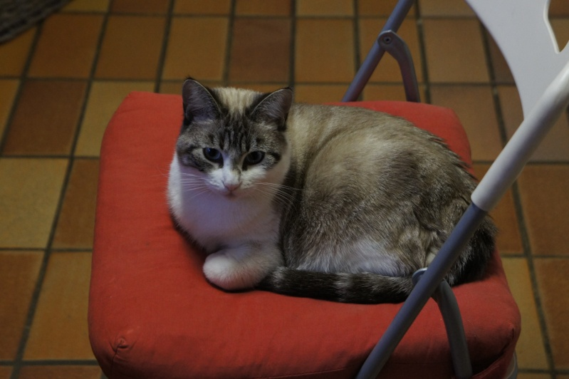 Laïka jeune chatte typée siamoise, gestante, à la rue - Page 3 Dsc07411