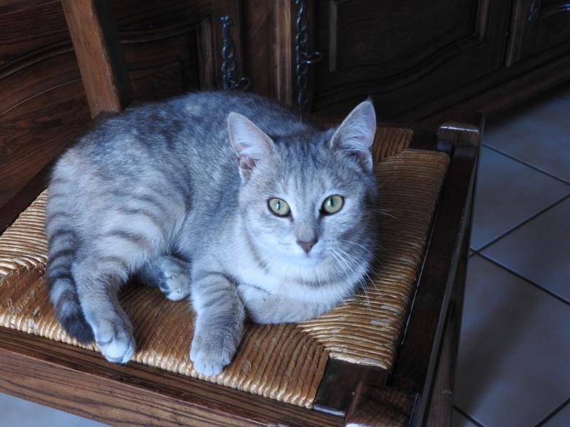 pipelette, jeune chatte gestante Dscn1211