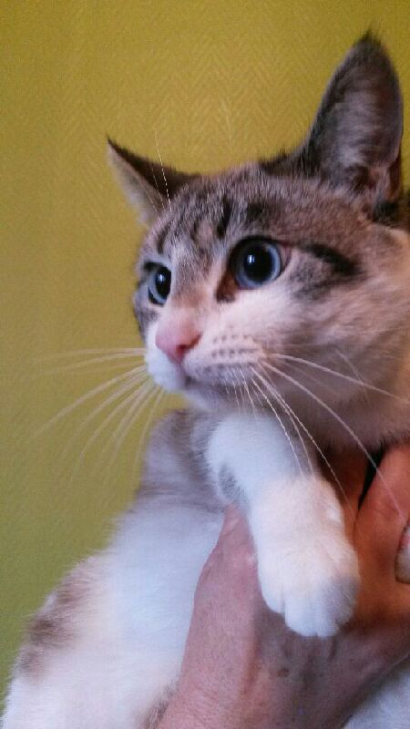 Laïka jeune chatte typée siamoise, gestante, à la rue - Page 2 Img_0213