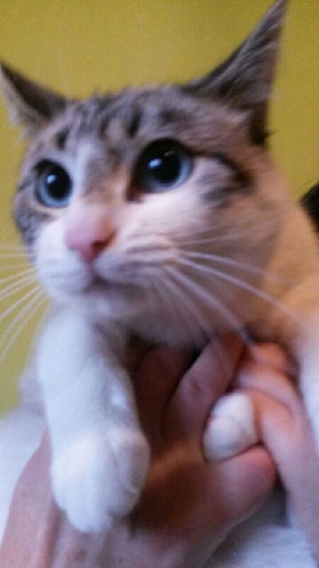 Laïka jeune chatte typée siamoise, gestante, à la rue - Page 2 Img_0214