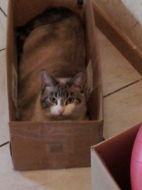Laïka jeune chatte typée siamoise, gestante, à la rue - Page 2 Img_0215