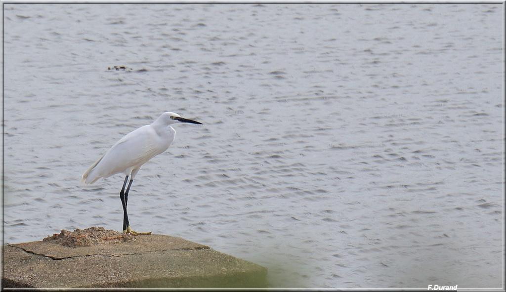 [Ouvert] FIL - Oiseaux. Aigret14