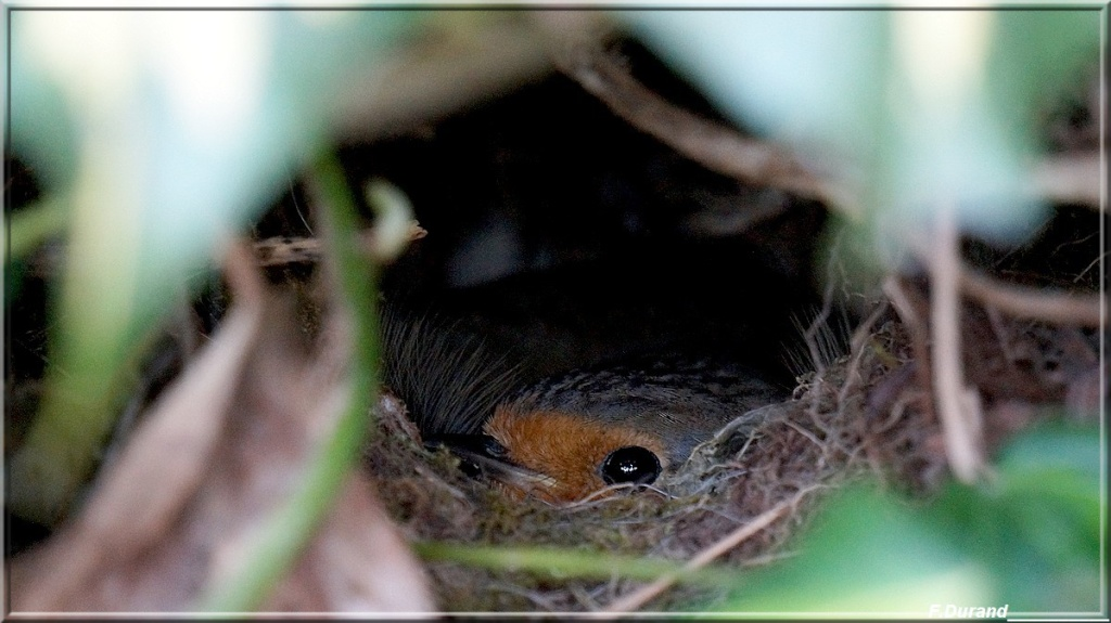 [Ouvert] FIL - Oiseaux. Nidrou10