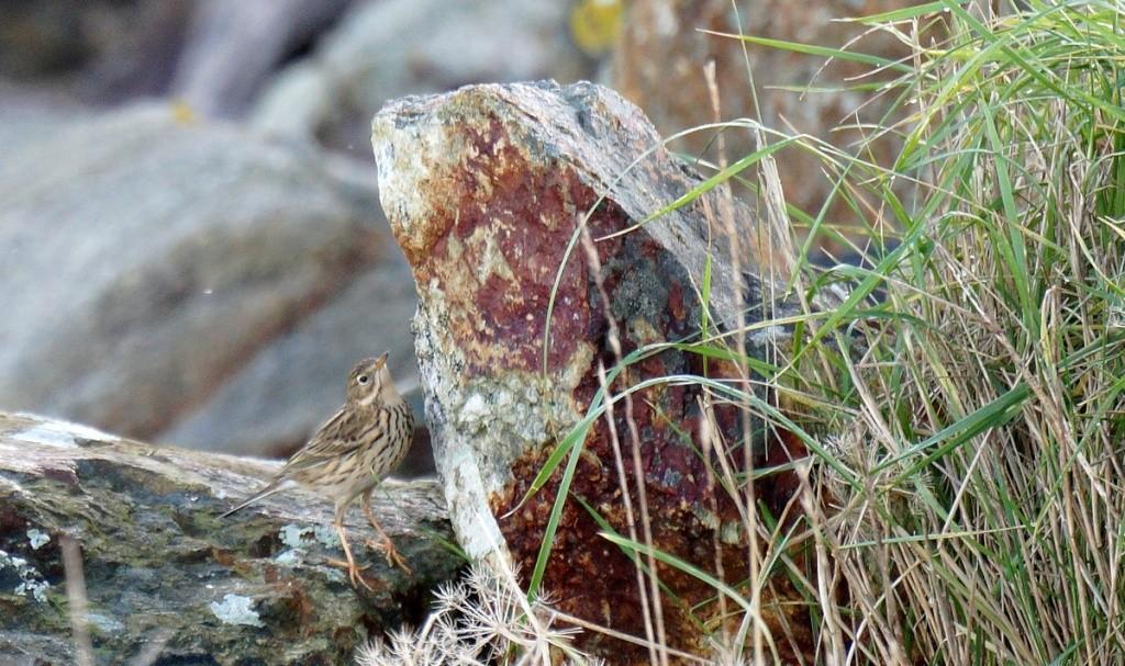 [Ouvert] FIL - Oiseaux. Pipitm10