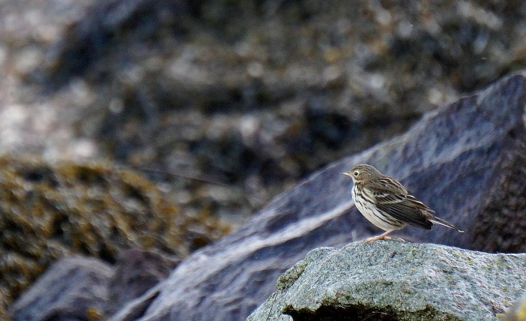 [Ouvert] FIL - Oiseaux. Pipitm11