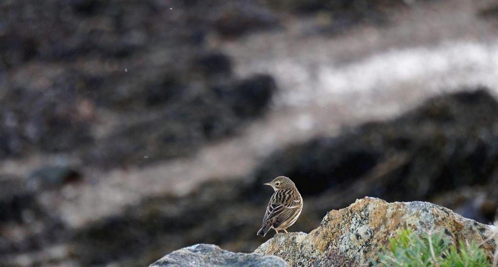 [Ouvert] FIL - Oiseaux. Pipitm12
